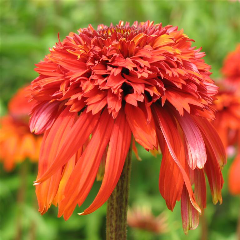 echinacea 39 hot papaya 39 p. Black Bedroom Furniture Sets. Home Design Ideas
