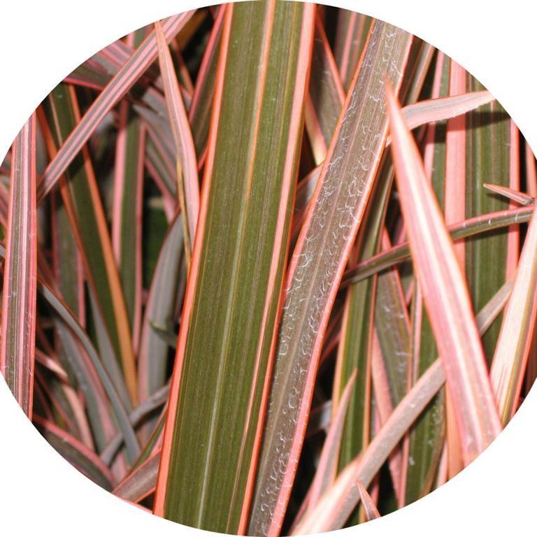 phormium 39 pink stripe 39. Black Bedroom Furniture Sets. Home Design Ideas